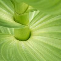 Veratrum (Corn Lily) Botanical Detail Art Prints & Posters by David Kocherhans