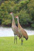 Mr and Mrs Crane by Carol Groenen