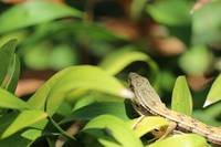 Lizard Sliding Through Leaves