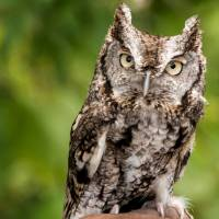 Screech Owl Art Prints & Posters by Anthony L. Sacco