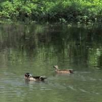 Wood Duck Mates 069 by Richard Thomas