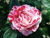 Red and Pink Floral Candy Rose Garden 490
