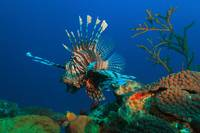 Lionfish and reef