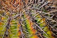 Saguaro Spikes In Tucson, Arizona
