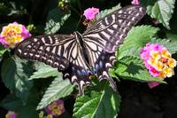 SwallowtailOnMobileAnyGood