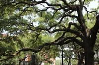 Savannah Park Tree by Carol Groenen