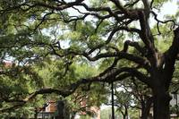 Savannah Park Tree