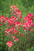 A Pretty Patch of Paintbrush