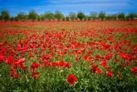 A Sea of Texas Red Corn Poppies