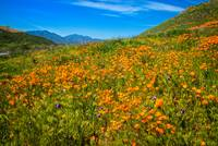 California Poppies Gone Wild
