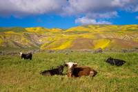 Beautiful California Cow Country