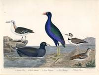 Alexander Wilson Bird Prints American Ornithology