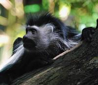 Colobus in shade