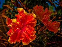 Yellow and Orange Double Hibiscus