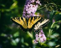 butterfly-swallowtail-md-zoo-8050035