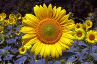 sunflower-on-roxanna-road-b