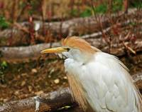 Ubiquitous Cattle Egret