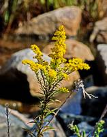 goldenrod-route-54-marsh-8822
