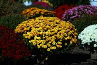 golden-mums-in-sea-of-blooms-5239