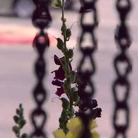 Digitalis plant in front of chains