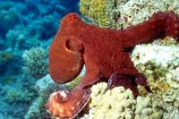 Red Sea, Red Octopus