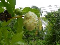 Noni fruit, Grand Cayman Islands