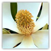 Magnolia Macro with Border