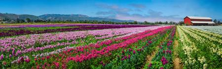 Flower Farm Heaven Panorama