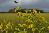 Butterflys on the marsh