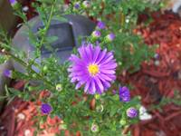 Purple windflower