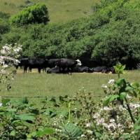 Cattle in Pasture_2079 by Richard Thomas