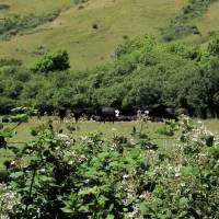 Cattle in Pasture_2082 by Richard Thomas