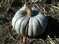 No Ordinary Pumpkin