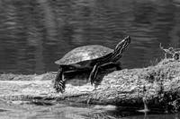 Painted Turtle on a Log (B&W)