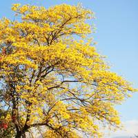 Yellow poui treetop