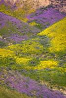 Mountainside Marvels of the Carrizo Superbloom