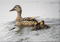 Duck and Ducklings 3