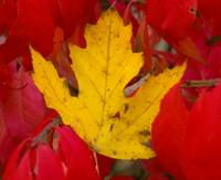 Autumn Leaf Amongst Burning Bush