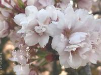 Sakura-saku: To Prosper & Bloom
