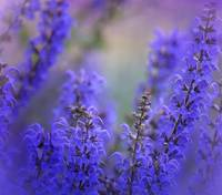 lavender dream -3-