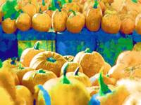 PUMPKINS FOR SALE IN ESSEX MASSACHUSETTS