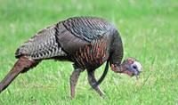 Wild Turkey Grazing