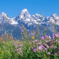 Teton Wildflowers Panorama Art Prints & Posters by David Kocherhans