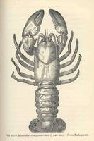 Vintage Crayfish Illustration (1896)