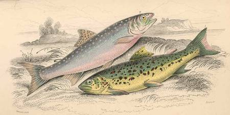 Vintage River Trout Illustration (1866)