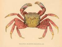 Vintage Mangrove Root Crab Illustration (1902)