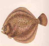 Vintage Flounder Fish Illustration (1919)