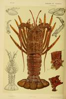 Vintage Lobster Anatomy Diagram (1890)