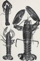 Vintage Lobster Photograph (1911)