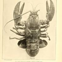 Vintage Maine Lobster Photograph (1895) 2 Art Prints & Posters by Alleycatshirts @Zazzle